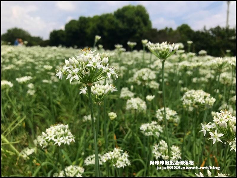 大溪韭菜花5.JPG
