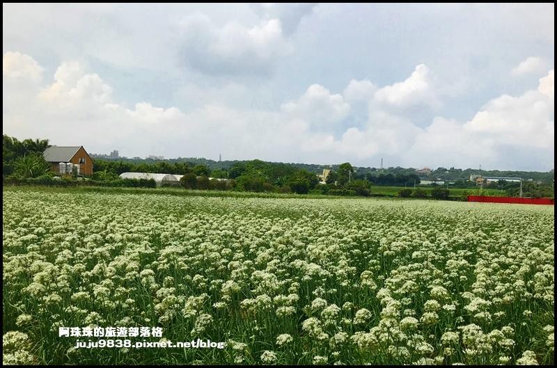 大溪韭菜花10.JPG