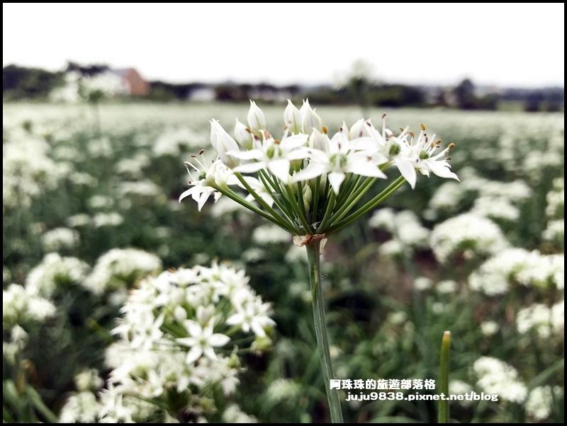 大溪韭菜花22.JPG