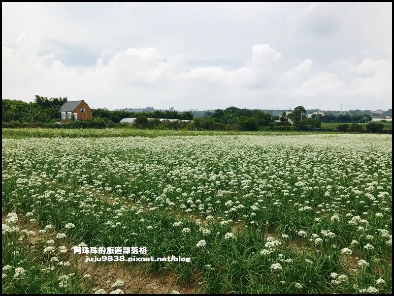 大溪韭菜花19.JPG