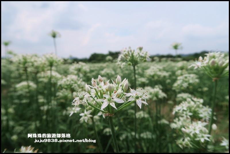 大溪韭菜花34.JPG