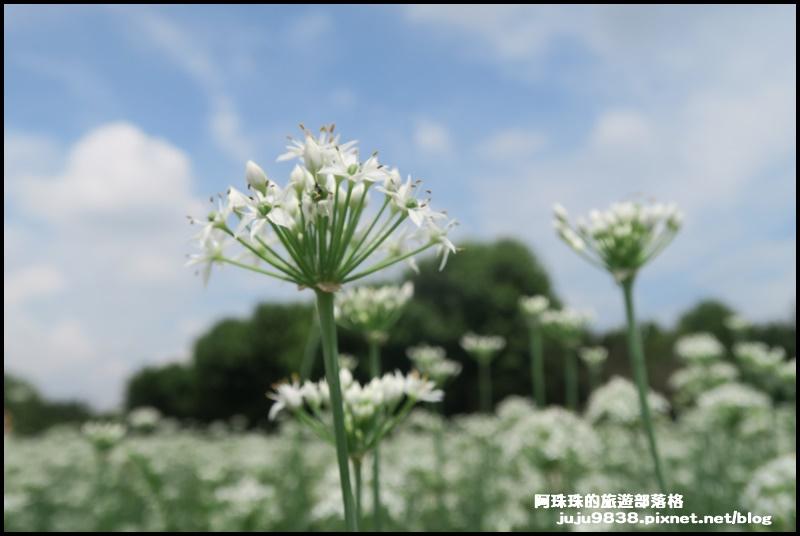 大溪韭菜花33.JPG