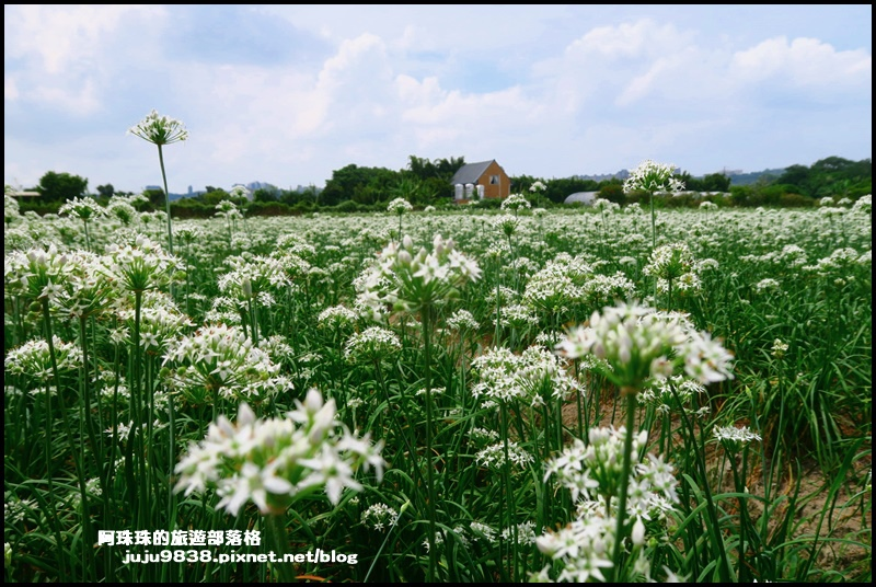 大溪韭菜花35.JPG