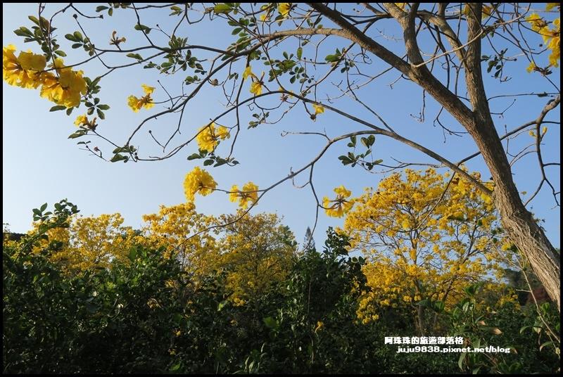 金湖灣風鈴木26.JPG