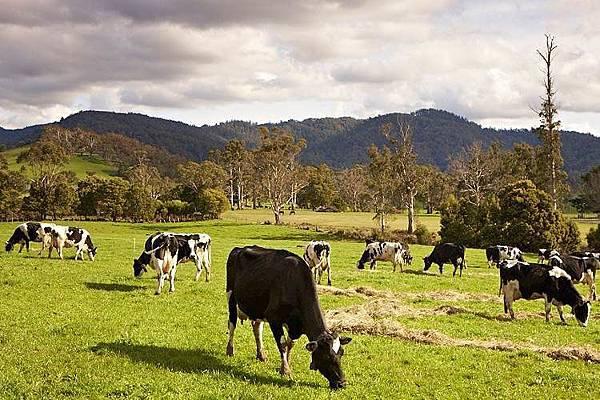 Pyengana-cows-in-meadow.jpg