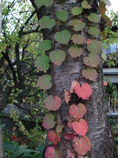 心型的葉子很可愛