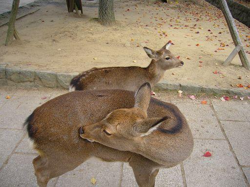 小鹿瑜伽術