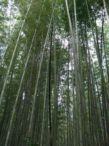 長得又高又茂密的竹