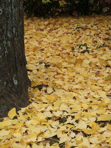 銀杏鋪成的地毯