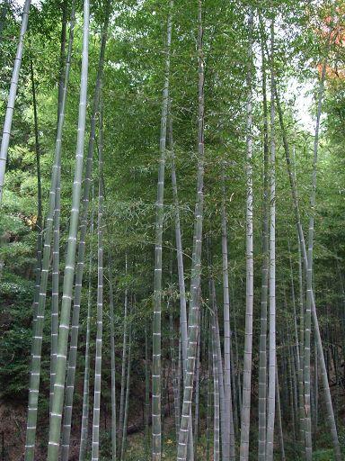 常寂光寺裡也看得到修竹