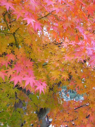 顏色鮮麗的楓葉