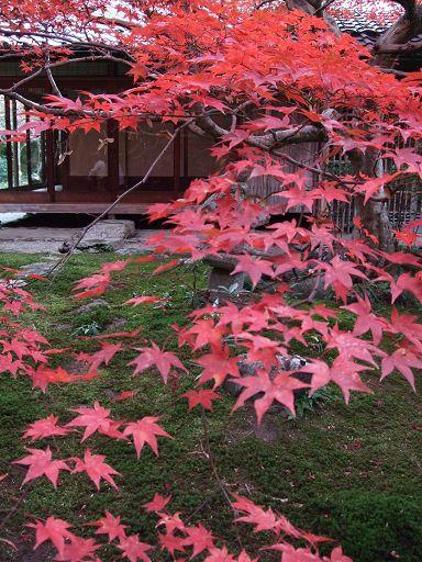 坐在小小的庭院裡,一邊欣賞楓紅,一邊聽著風吹樹葉的沙沙聲,別有一種脫俗的美感