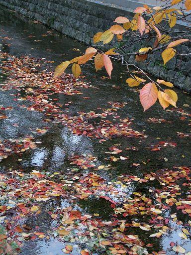落在高瀨川清澈的水面上,色彩鮮麗的落葉