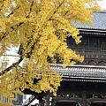 銀杏和這類的寺廟建築也很搭