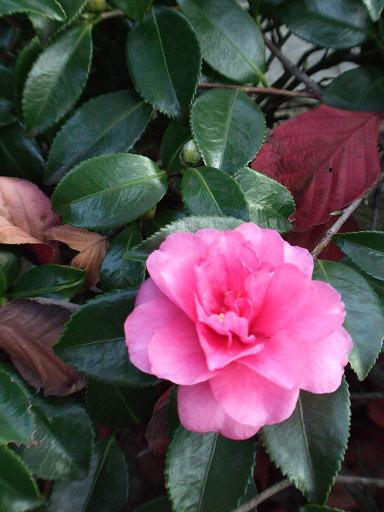 美麗盛開的茶花