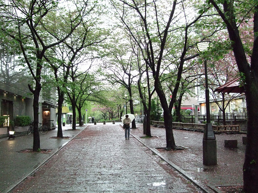 溼答答的天氣,櫻花的花瓣落滿地。