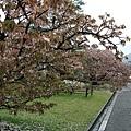參道的兩旁有許多不同品種的櫻花。