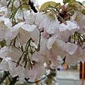 靠近一點兒賞櫻。