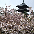 備受群櫻愛戴及環繞的五重塔,是列名「京都百景」的麗景。