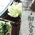 神社裡,一株獨自盛開的櫻花吸引住我路過的目光。