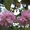 漂亮櫻花靠近拍。