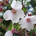 不同品種的櫻花,感覺也很不相同。