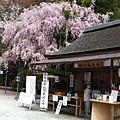 就在販售處的旁邊也有一株美麗盛開的櫻花。