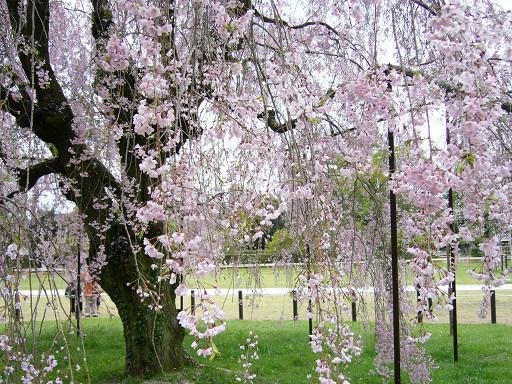 優雅而從容的伸展著枝椏,完全不吝惜展現自己最美的一面。