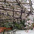 另一株櫻花,悠閒的披掛在竹架上做日光浴。
