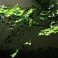 耀眼的陽光不時灑落,在青色楓樹上造成了忽明忽暗的奇幻效果。