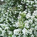 一大蓬美麗的小白花。
