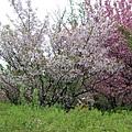 不同品種的櫻花。