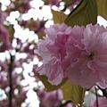 重瓣的櫻花......跟垂櫻的嬌柔不大相同......*(oo)*