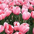 粉紅色的也很美。*(oo)*