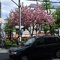 一株盛放的櫻花,讓路過的我們眼睛大吃冰淇淋。^(oo)^