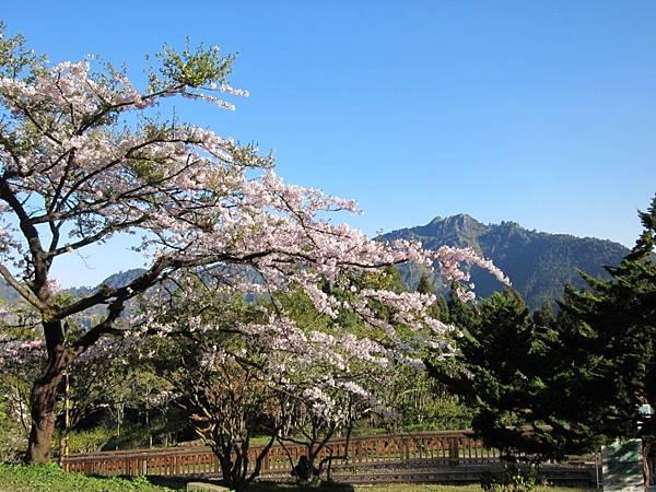 櫻花&遠山