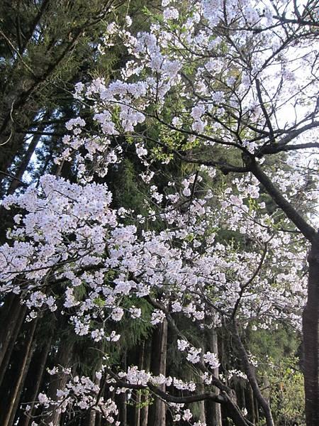 吉野櫻 盛開