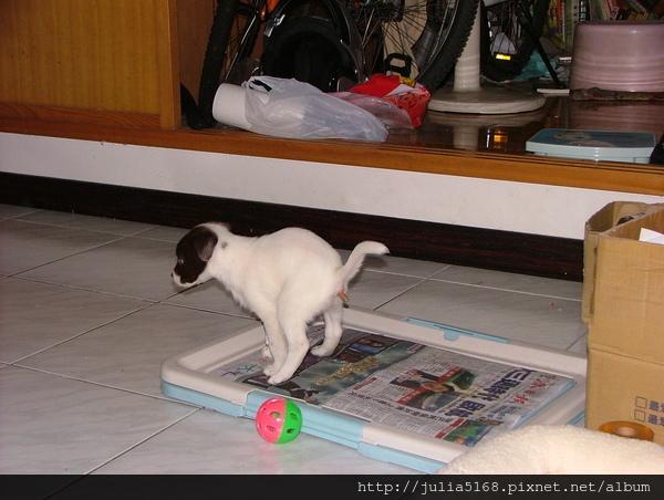 嘟嘟終於會找報紙在上面大小便了.JPG
