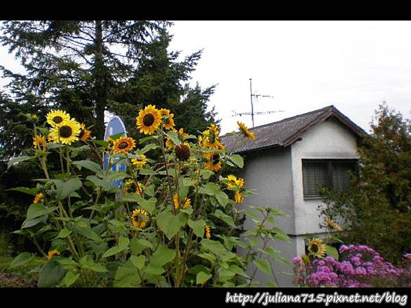 PhotoCap_08092053 馬堡街景向日葵 (Helen).jpg