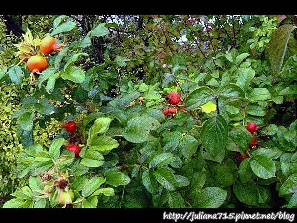 PhotoCap_08092078 馬堡街景雜果樹.jpg