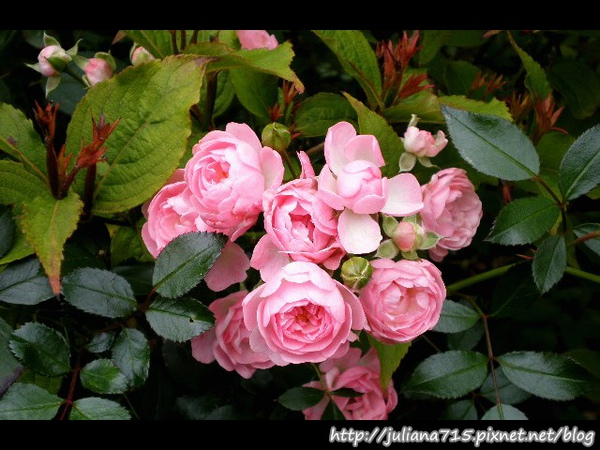 PhotoCap_08092044 馬堡街景花 (Helen).jpg