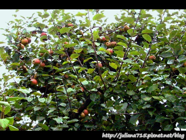 PhotoCap_08092073 馬堡街景蘋果樹.jpg