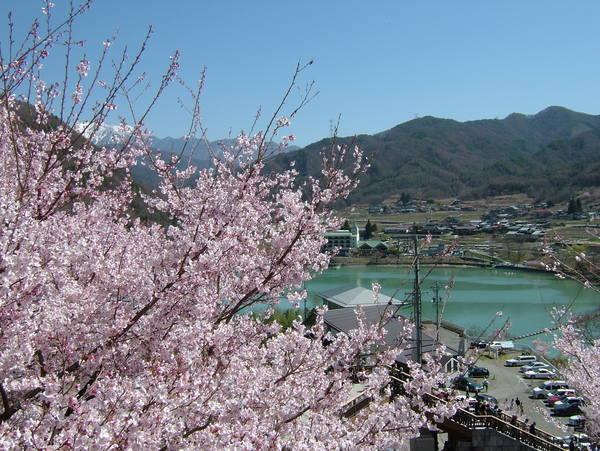 櫻花-3.jpg