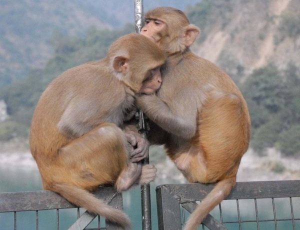 Monkey love. S, Hurst photo.jpg