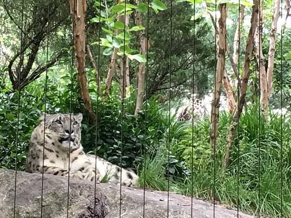 Snow leopard白色的雪豹.jpg