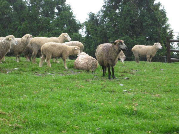 青青農場-羊群.jpg
