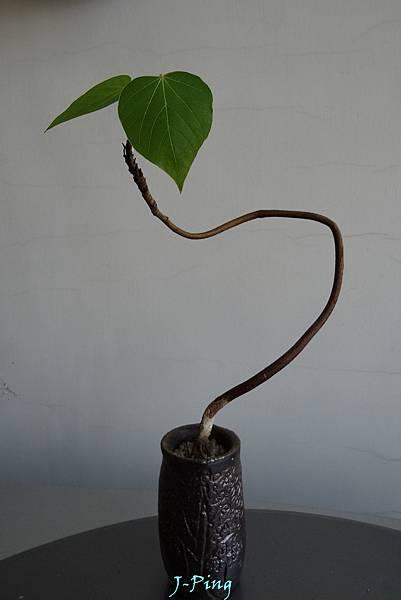 菲律賓油桐 (14)