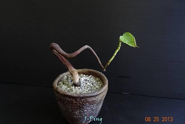 菲律賓油桐 (5)