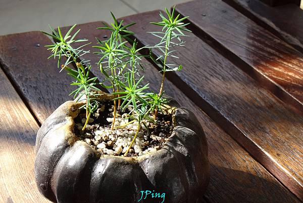台灣肖楠種子盆栽