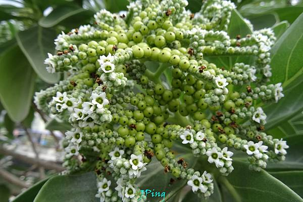 白水木 (8)